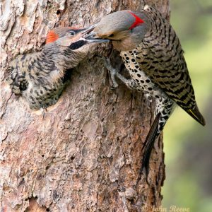 Feeding Baby Flicker