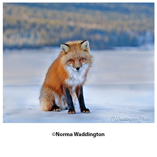 Fox-in-Winter