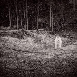 Lone Goat