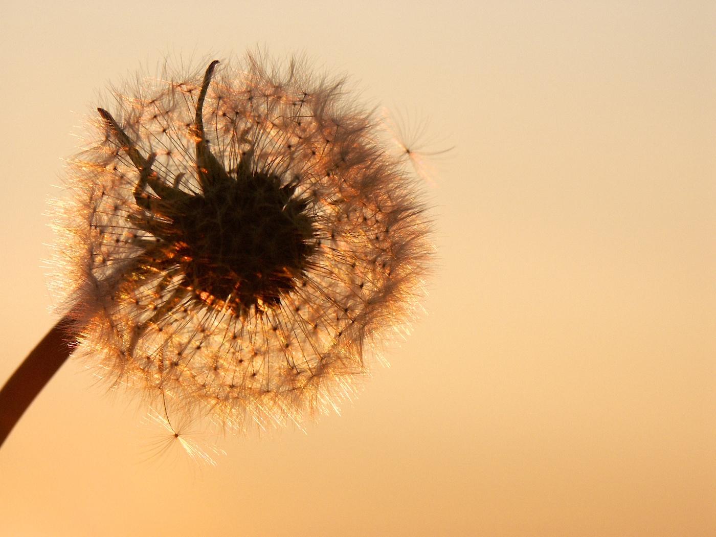 Dandelion-Michael Burdett