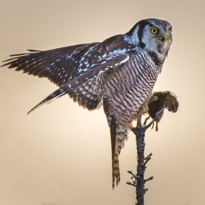 Hawk Owl Feast  ©Maggie Leary  20.5/27 points
