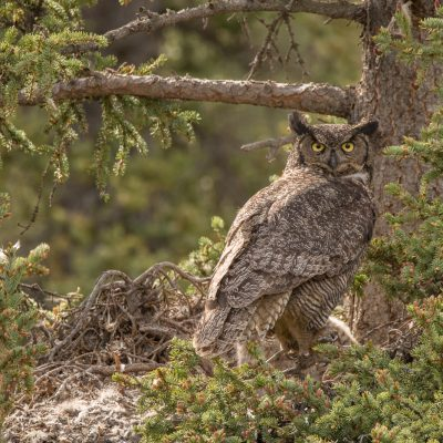 Ed Jenni - A Great Horned Owl  18/27 points