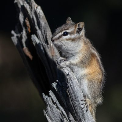Chipmunk Pose ©Maureen Caron