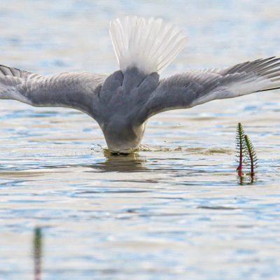Fishing Gull ©Walter Gutowski