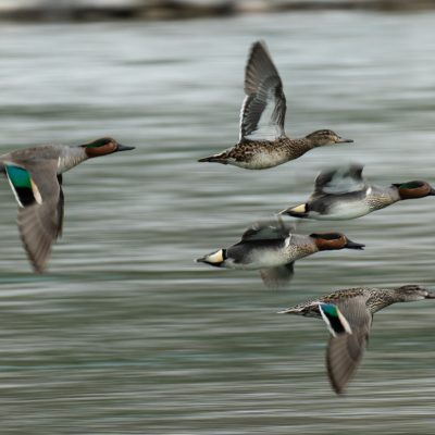 Greenwing Teal ©Grant Abbott