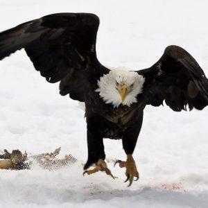 Agitated Eagle