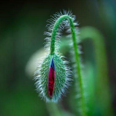 Bursting Poppy © Ed Jenni