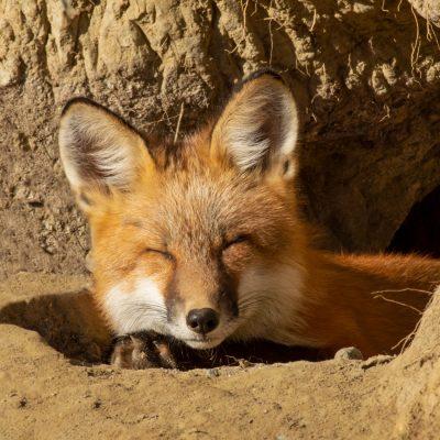 Sunning Fox © Wendy Pryor